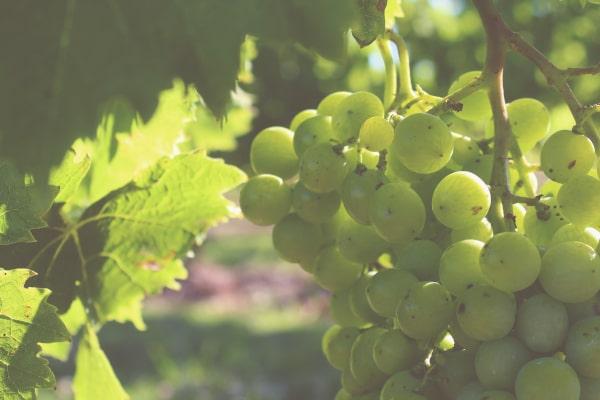 secteur viticole